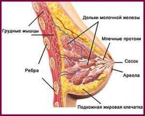 Строение груди у женщин