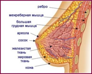 От чего зависит размер груди?