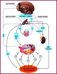 Гормональная регуляция менструального цикла